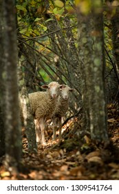 View of two sheep standing on dry leaves among trees in woods looking at camera