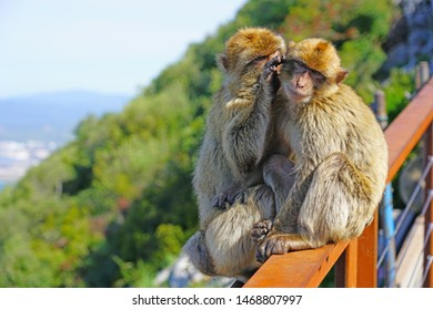 View of two wild Barbary Macaque monkeys grooming each other at the top of the Rock of Gibraltar