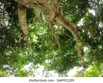 View from under the trees in the forest, Bottom view to the tree top of a huge Plane tree or Platanus in jungle forest. Sun rays in the tree crown. Nature background