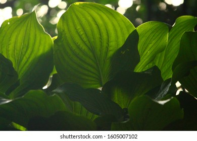 view from underneath a hosta plant with light shining through casting shadows
