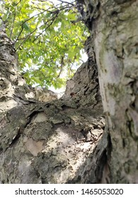 A view upwards of a tree's leaves from close to it's trunk. Bark on trunk focus.