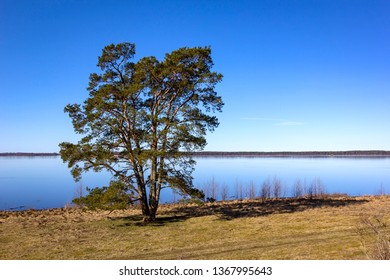 View of a very beautiful and mighty pine tree, on the shore of Lake Hornborga, Sweden.