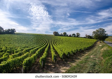 A view of vine rows growing on the slope of a hill in the Loire Valley region. Leaves are illuminated by the light of an autumnal sun, at the end of the afternoon