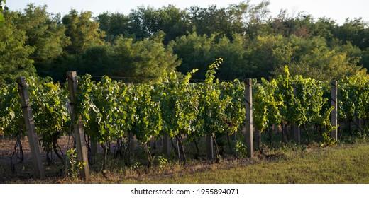 View of Vineyard, Kostol, Kladovo, Bor District, Serbia - Shutterstock ID 1955894071