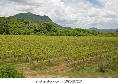 View of vineyard. Vineyard landscape