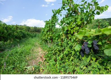 View of vineyard with ripe grapes ready for harvest.