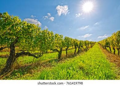 View of the vineyard row in Kutjevo Croatia.