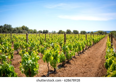 View of a vineyard in south of Sardinia , Italy in spring