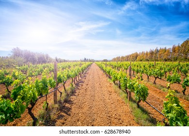 View of a vineyard in south of Sardinia , Italy in spring in backlight