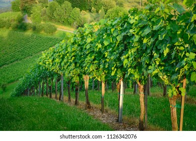 View of a vineyard in Styria a horizontal format