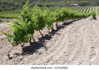 view of a vineyard in Viana, Navarre, Spain