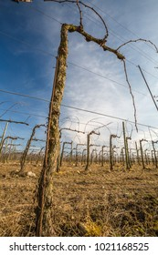 view of vineyard in winter with bare, dormant branches against blue sky background near Manzano, Italy