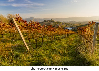 View of vineyards in autumnal colors ready for harvest and production of wine.