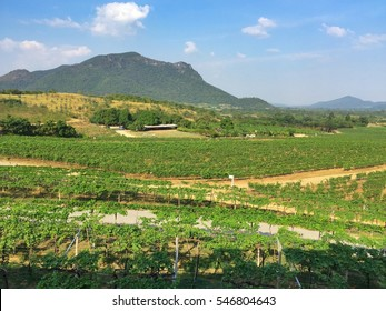 View of the vineyards in Hua Hin, Thailand