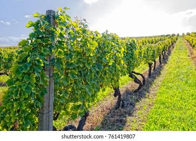 View of the vineyards in Kutjevo Croatia.