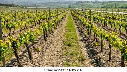 View of vineyards in La Rioja (Spain)
