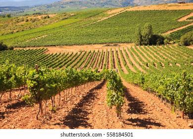 View of vineyards in the Spanish countryside, territory of Villafranca del Bierzo