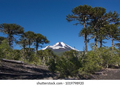 view of a volcano from the wood of araucarias  in Conguillio National Park in Chile