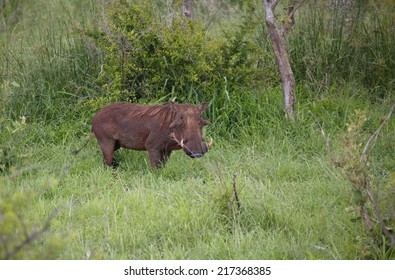 View of a warthog in a green field, Kruger National Park, Mpumalanga, South Africa
