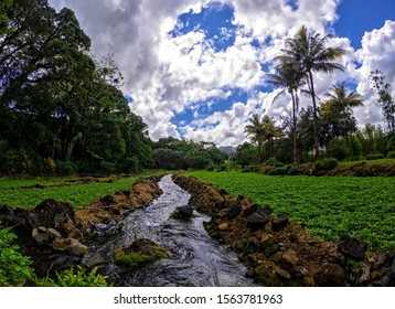 View of a watercress field located at Le Val nature park, Mauritius