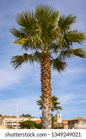 View to a well formed palm tree, at the promenade at the sea in Ste Maxime, a coastal village at the French Riviera.