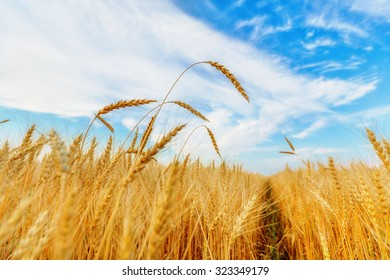 View of wheat ears and clear sky