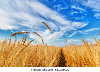 View of wheat ears and cloudy sky