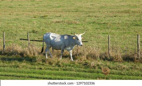 View of white Chianina breed cow on a field in central Italy. The Chianina is an Italian breed of cattle, now raised mainly for beef. It is the largest and one of the oldest cattle breeds in the world