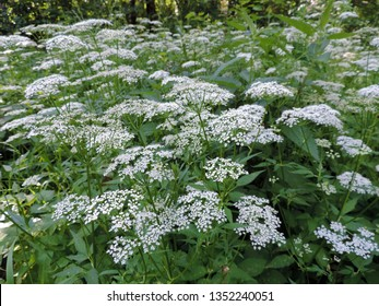 View of a white flower meadow of Aegopodium podagraria L. commonly called ground elder, herb gerard, bishop's weed, goutweed, gout wort, and snow-in-the-mountain. Poland, Europe