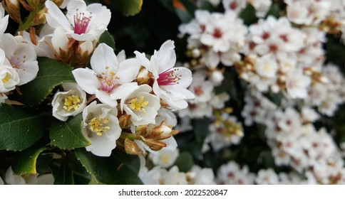 View of the white flower of Rhaphiolepis Cosmic White plant blooming in the garden. It is tough, evergreen shrub, flowers heavily in spring with spot flowering. Beautiful background, wallpaper.