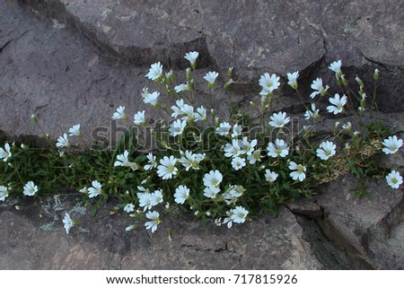 View White Mountain Flowers Grow Between Stock Photo Edit Now