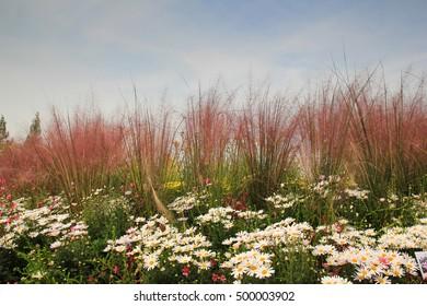 A view of Wild chrysanthemum around with Epilobium pyrricholophum stem (a willow herb), korea / Wild chrysanthemum around with Epilobium pyrricholophum stem (a willow herb),