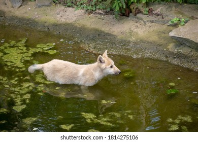 A view of a wild dog on a manmade pond in the zoo