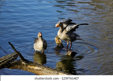 View of wild geese family on the sea. Photography of nature and wildlife.