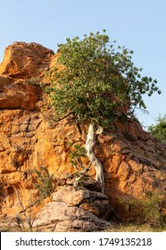 View of a wild rock fig tree clinging to a rockface in Mapungubwe National Park, South Africa. It is a rock-splitting tree.