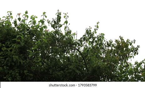 A View Of A Wild Shrub Isolated On A White Background