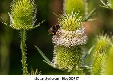 View of  wild teasel with bumblebee  on the summer field. Photography of lively nature and wildlife.