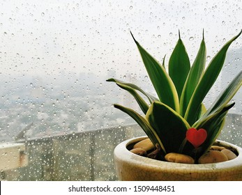 The view from window at indoor plant after the rain. Sansevieria trifasciata or Snake plant is probably one of the most conventional houseplants inside voluminous pots.