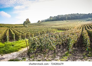 View of wine field and grape in Champagne hill in France
