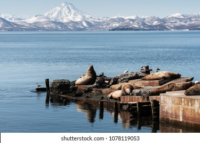 View of winter rookery Steller Sea Lion or Northern Sea Lion (Eumetopias Jubatus) on Pacific Coast. Avacha Bay, Petropavlovsk-Kamchatsky City, Kamchatka Peninsula, Russian Far East.