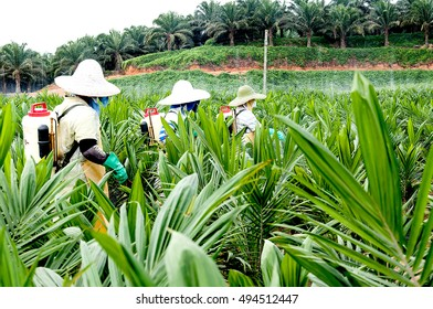 View of wokers spraying pesticides between rows of oil palm trees in main nursery plantation in Borneo, Malaysia.