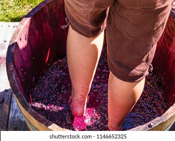 View of woman stomping grapes in wooden barrel during Grape Stomping Festival; fall in Missouri