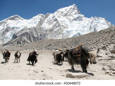 View of yaks (bos grunniens) group near Gorak Shep village on the way to Everest base camp - Nepal