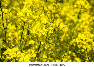 View of yellow colza field in spring, France