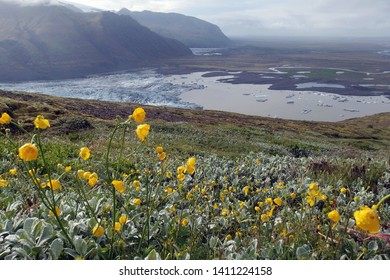 View with yellow flowers in National Park Skaftafell in South Iceland