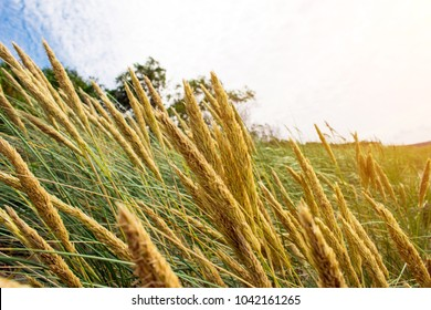 view of the yellow spikelets, toned