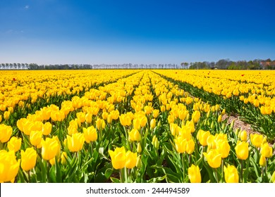 View of yellow tulip rows in summer time