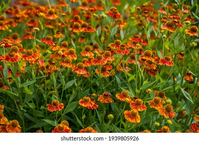 View of yellow-orange helenium  flowers on the summer meadow