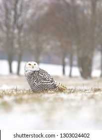View of a young female of a snowy owl with dark spots of its plumage standing on the meadow covered with snow