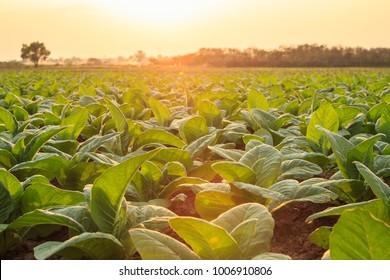 Blick auf die junge grüne Tabakpflanze auf dem Feld in der Provinz Sukhothai im Norden Thailands